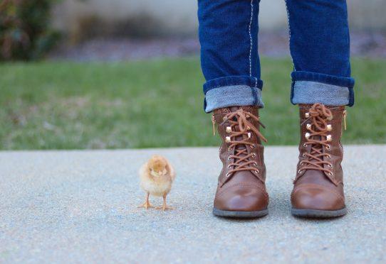 Tibu kellest kasvab kana